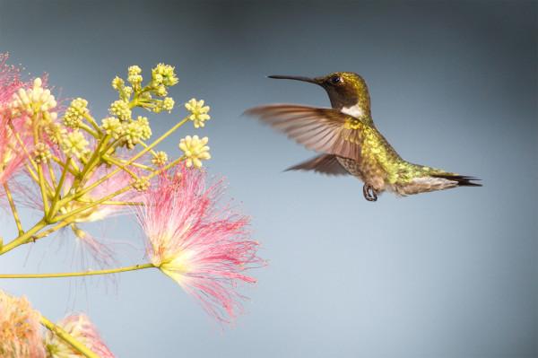 一種蜂鳥:紅喉北蜂鳥(ruby-throated hummingbird)。(圖片來源)