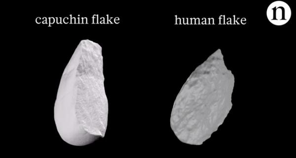 古代人類與捲尾猴製造的石片,外形一模一樣,無法區分。(圖片來源)