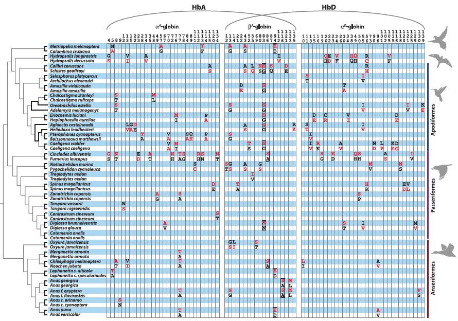 各種鳥類的血紅素基因,高海拔與低海拔間氨基酸序列的差異。(圖片來源)