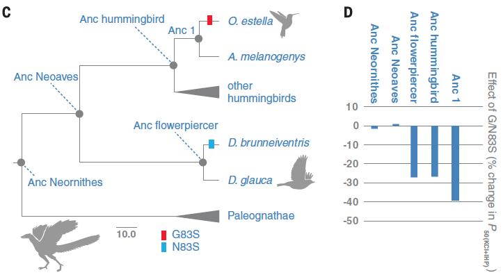 左圖是各種鳥類間的親緣關係,右圖是各個演化分支中,血紅素基因N/G83S突變對與氧氣親和性的影響。(圖片來源)