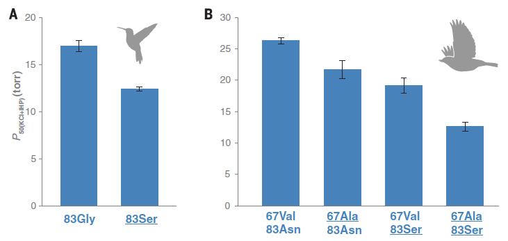 左圖是G83S對蜂鳥親和力的影響,右圖N83S與V67A對刺花鳥的影響,縱軸較高代表血紅素與氧氣的親和性較低。(圖片來源)