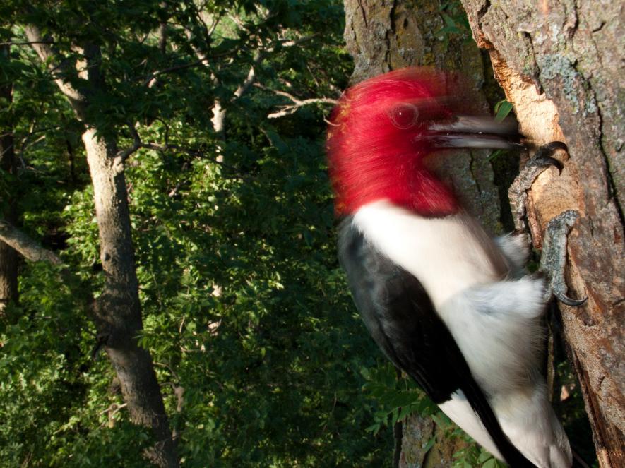 內布拉斯加州的一隻紅頭啄木鳥正在樹上幹活。PHOTOGRAPH BY JOEL SARTORE