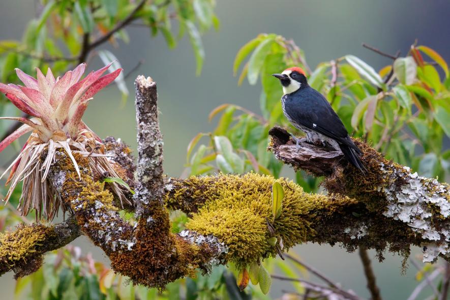 哥斯大黎加枝頭上的一隻橡實啄木鳥。這種鳥以高超的啄木技能出名。PHOTOGRAPH BY GLENN BARTLEY, GETTY IMAGES