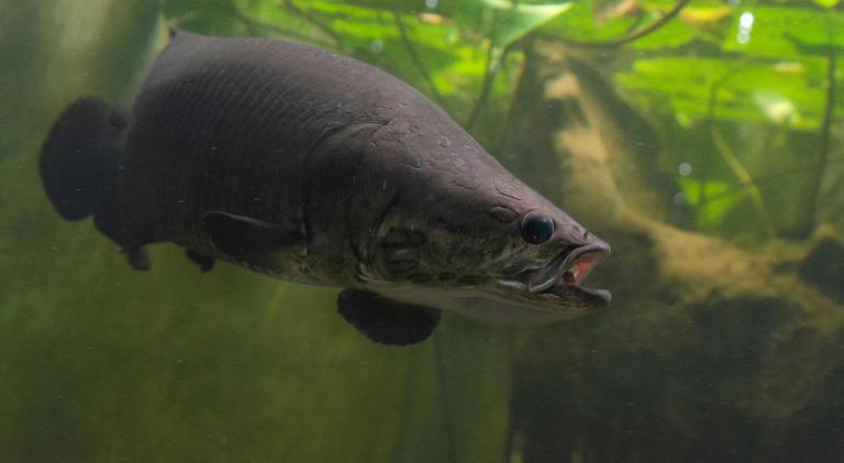 巨骨舌魚(arapaimas)也叫做海象、象魚;亞馬遜原住民中稱之為pirarucu,意思是紅色的魚。是一種生活在亞馬遜河流中可以直接呼吸空氣的大型魚。PHOTOGRAPH BY AMAZON-IMAGES/ALAMY