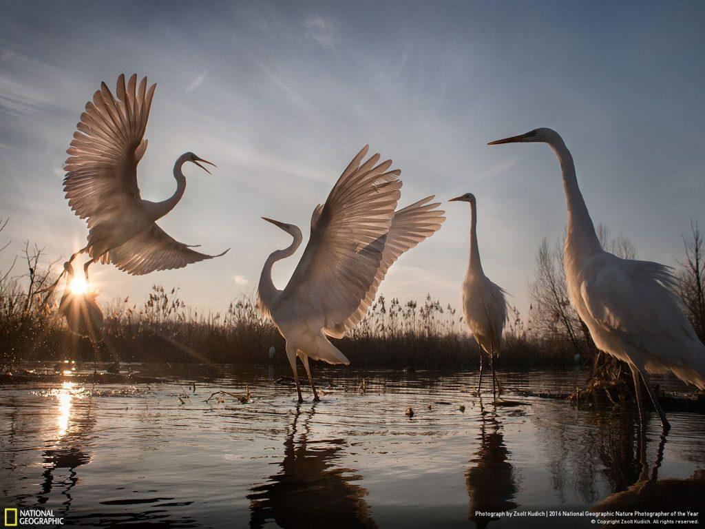 匈牙利境內的大白鷺保育成功。Photo by Zsolt Kudich