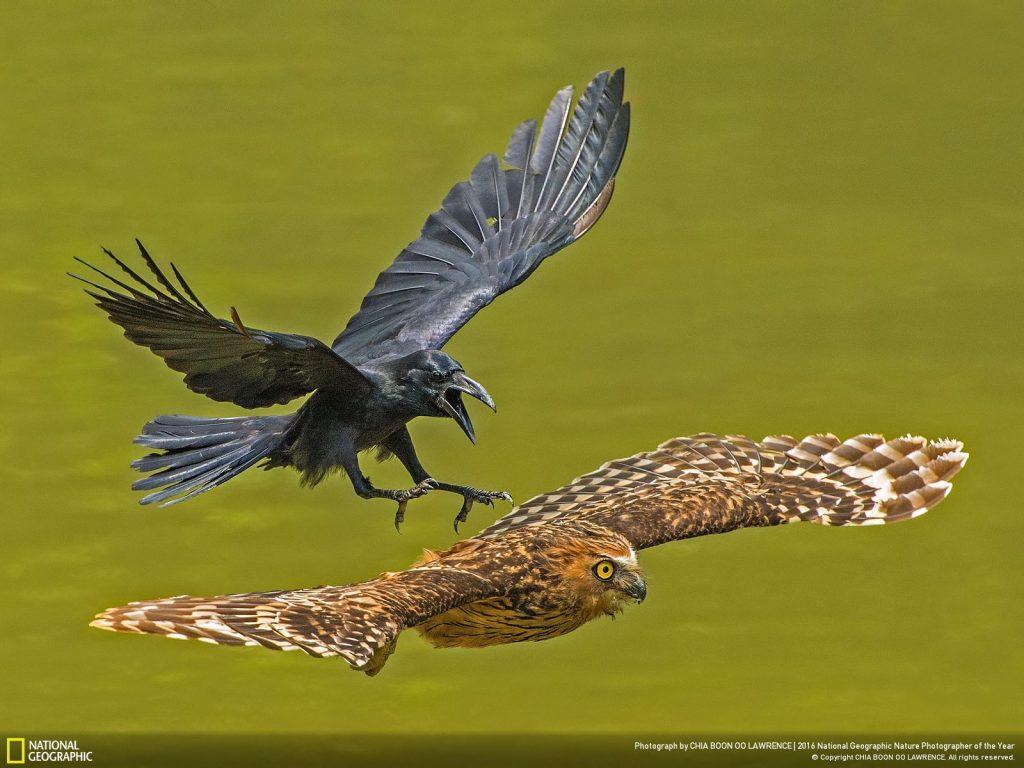 烏鴉飛過去把貓頭鷹趕出地盤。Photo by CHIA BOON OO LAWRENCE