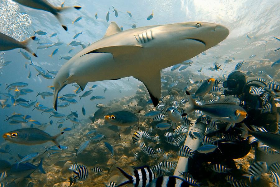 shark-diving-beqa-900x900