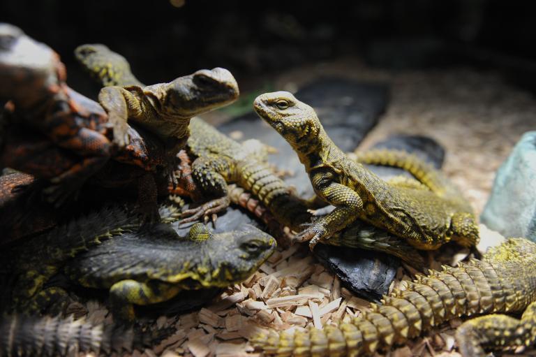2009年,法國巴黎警方查獲了幾隻多刺尾飛蜥,牠們不久後便重回大自然懷抱。PHOTOGRAPH BY BAPTISTE FENOUIL, REDUX