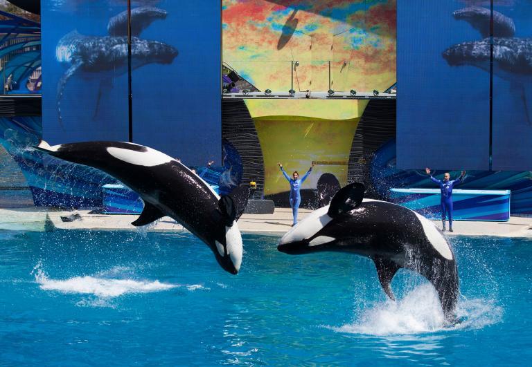 一月8日後,聖地牙哥海洋世界的虎鯨表演將喊卡。圖為2014年三月的一場表演活動。PHOTOGRAPH BY MIKE BLAKE, REUTERS