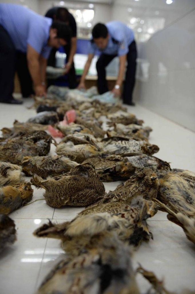 2015年中國黑龍江省警方查獲了逾兩百磅的熊掌、鹿茸、鹿體和雉雞。PHOTOGRAPH BY WANG KAI, XINHUA NEWS AGENCY, REDUX