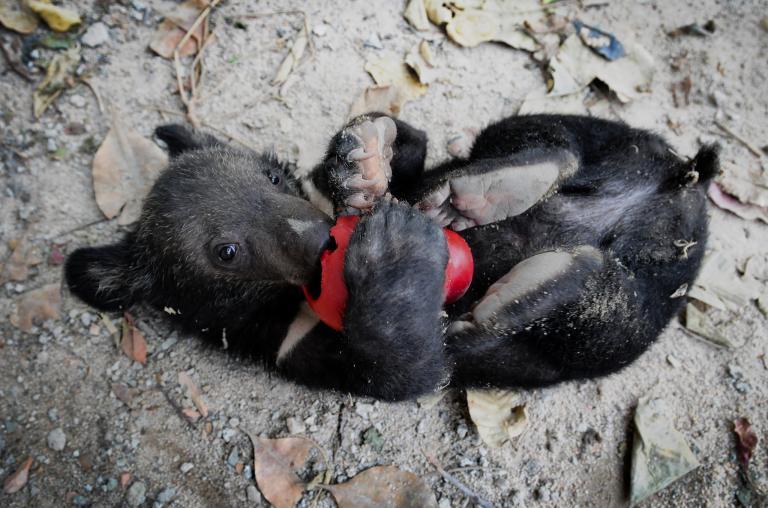 """這隻名叫Tasma的小熊,在2008年時被動物福利團體""""Free the Bears""""從非法商人手中救下,之後被帶到柬埔寨金邊的一處收容所。PHOTOGRAPH BY JO-ANNE MCARTHUR, REDUX"""
