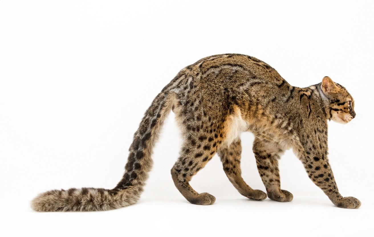 雲貓。這個體型如家貓的物種擁有超大尾巴,可能有助於平衡,讓牠們可以於夜間在東南亞森林中穿梭自如。主要拜其隱密的生活方式所賜,牠們是最不被了解的小型野貓之一。Pardofelis marmorata,攝於私人動物園。Photograph by Joel Sartore