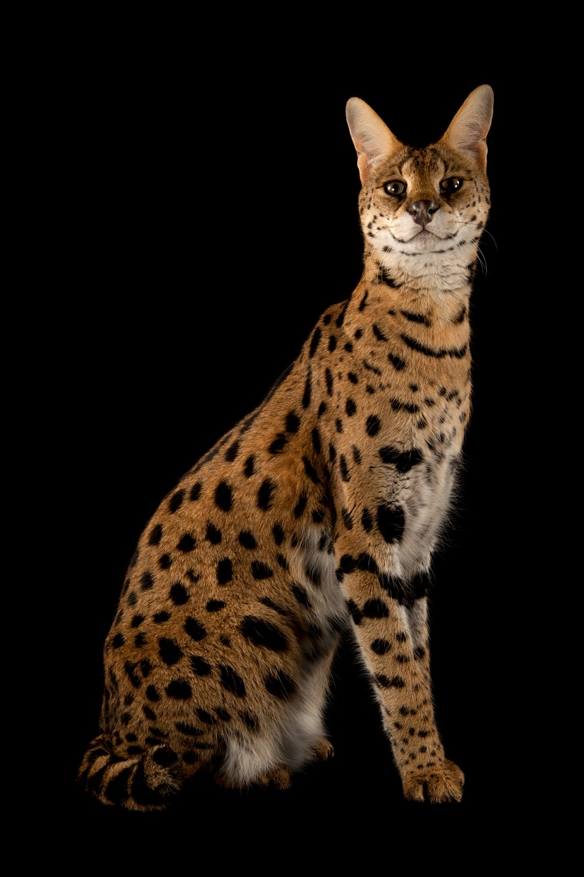 藪貓。Photograph by Joel Sartore