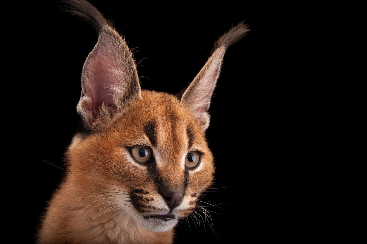 獰貓。某些小型野貓是卓越的掠食者,可以擄獲體型較大的獵物。亞洲和非洲的獰貓身高大約50公分,但攝影機曾經拍攝到牠們躍過3公尺高的圍欄捕食綿羊。Caracal caracal,攝於美國俄亥俄州的哥倫布動物園暨水族館。Photograph by Joel Sartore