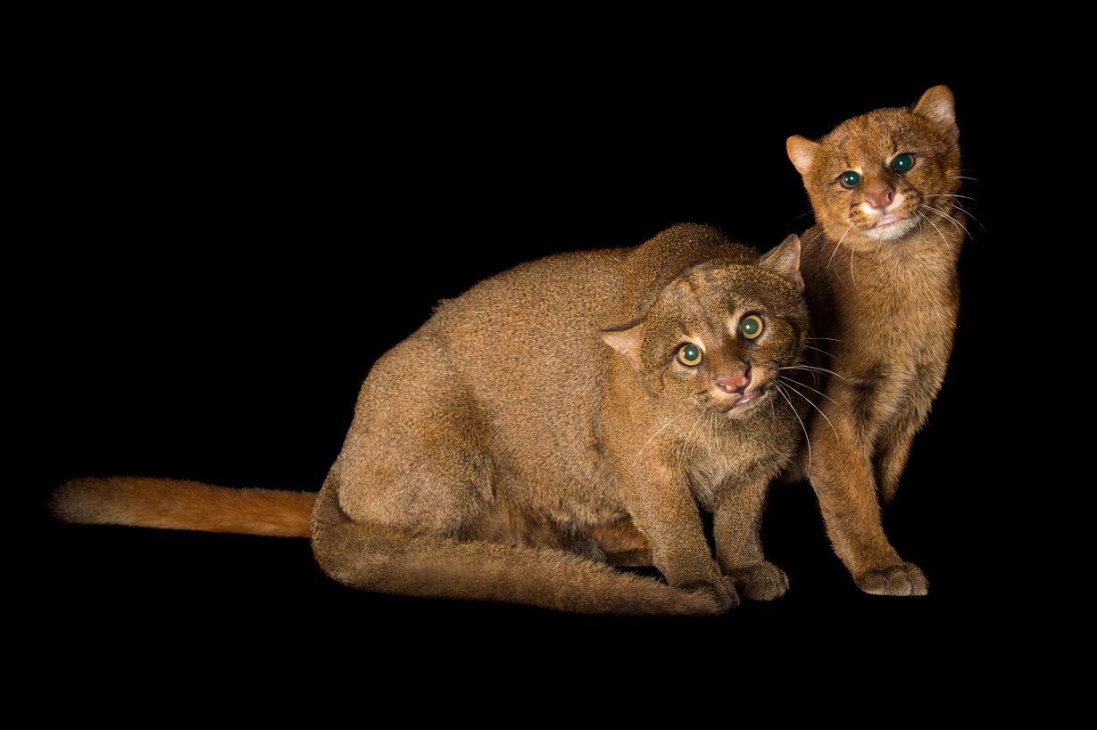 南美豹貓。Photograph by Joel Sartore