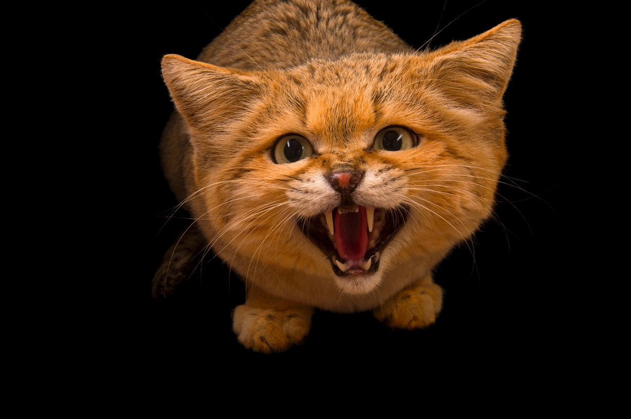 沙漠貓。Photograph by Joel Sartore