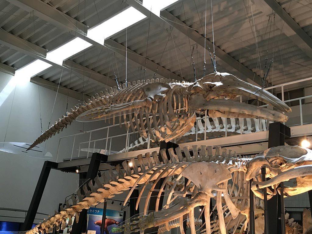 現存少數太平洋西岸灰鯨的全身骨骼標本(圖片中間。下方的骨骼標本為小鬚鯨)。作者攝於日本北海道足寄動物化石博物館。