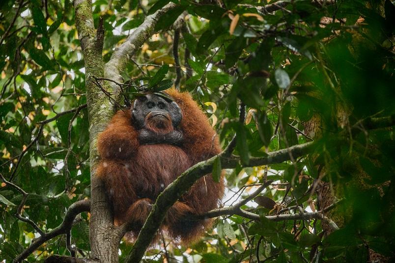 這隻雄性婆羅洲紅毛猩猩用一根葉片繁茂的樹枝充當雨傘。這種習得的行為,是紅毛猩猩的「文化」會代代相傳的一個例子。Photograph by Tim Laman