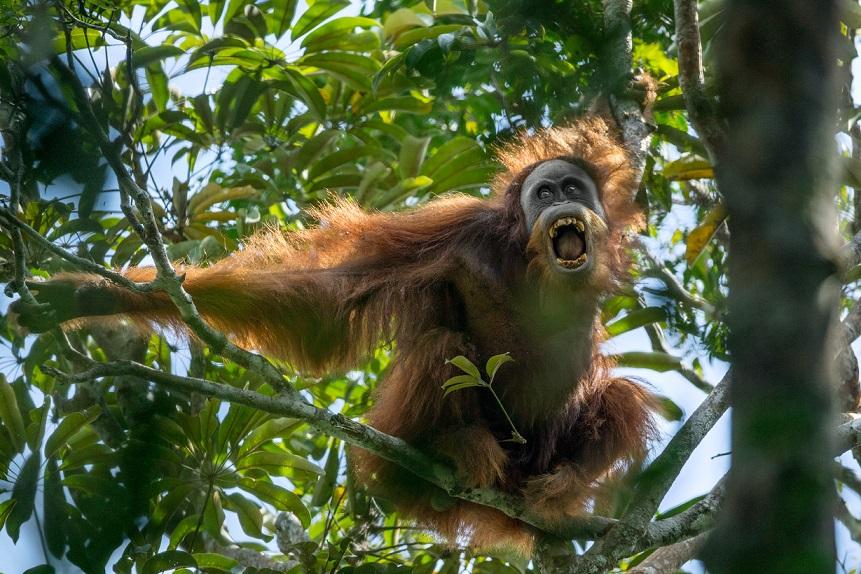 這隻雄性蘇門答臘紅毛猩猩正齜牙咧嘴、搖動樹枝,向對手示威。現今公認是獨立物種的蘇門答臘紅毛猩猩,野外的數量大約是1萬4000隻。Photograph by Tim Laman