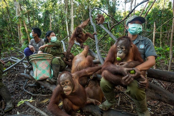 救援人員戴著口罩以防止他們負責照顧的紅毛猩猩孤兒受到人類病原感染。他們正在進行每日的「森林學校」課程,教導紅毛猩猩孤兒練習自主求生所需的技能與自然行為。Photograph by Tim Laman