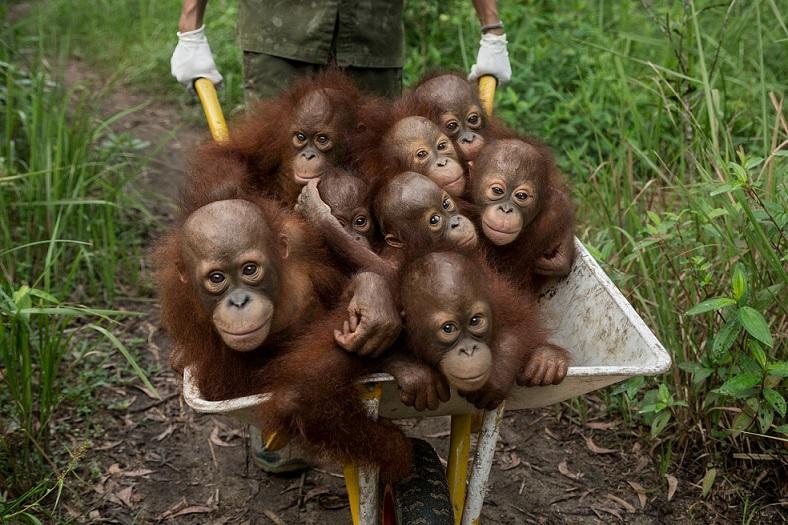 紅毛猩猩寶寶在寵物黑市上的要價很高,只有殺死護子心切的母親才抓得到牠們。這些紅毛猩猩孤兒目前都由國際動物救援組織撫養。Photograph by Tim Laman