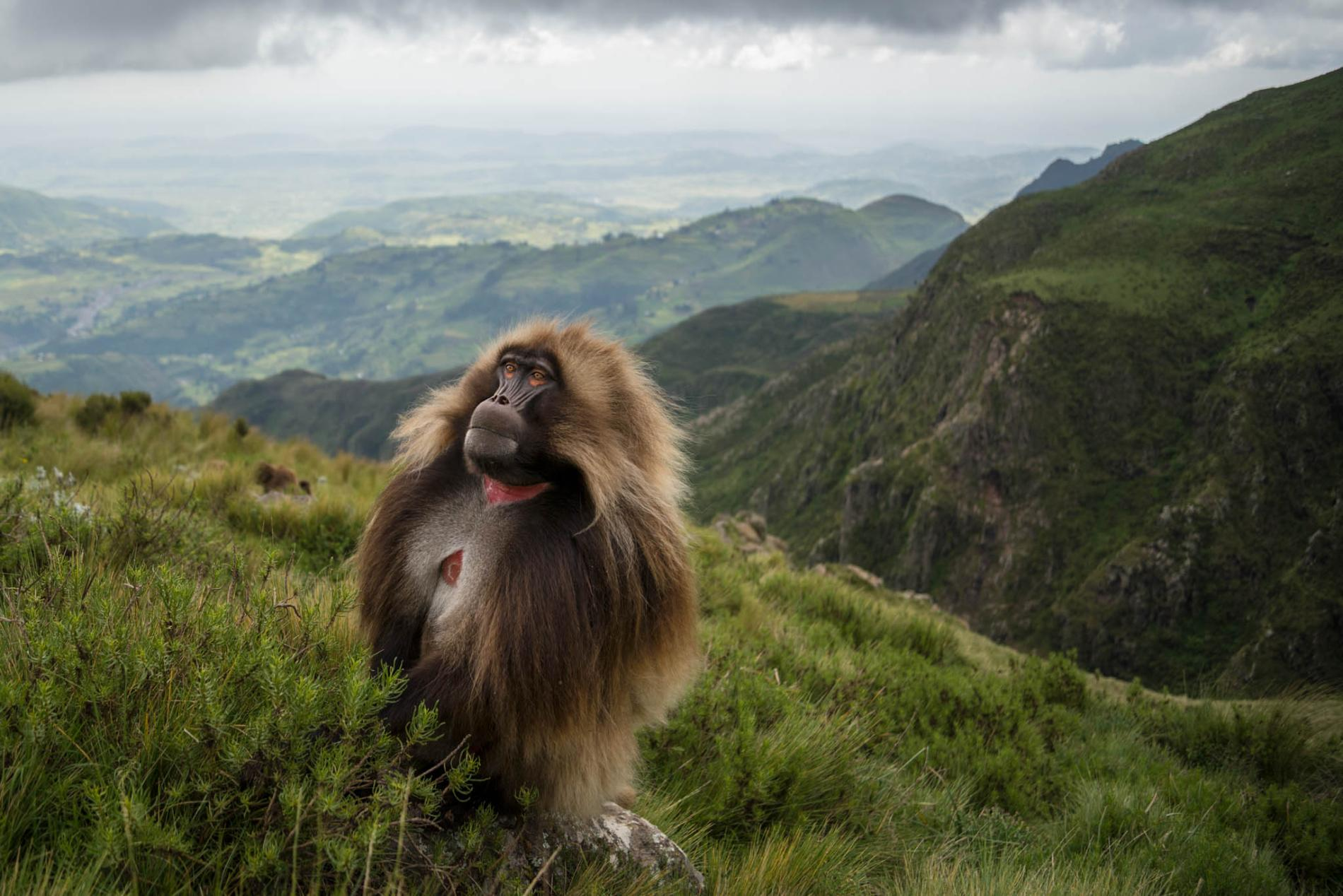 11-gelada-baboons-monkey-shaggy-cliff-rift-valley-ethiopia-highlands.ngsversion.1489164407523.adapt.1900.1