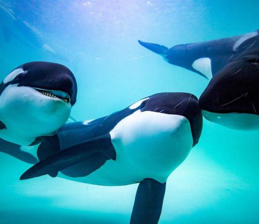 虎鯨是長隆海洋王國新繁育計畫中的一個項目。