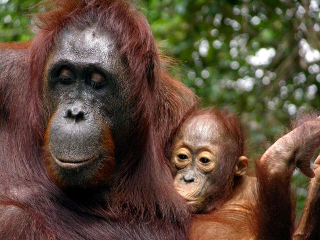 母紅毛猩猩和寶寶