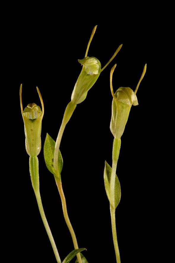 澳洲凹唇蘭