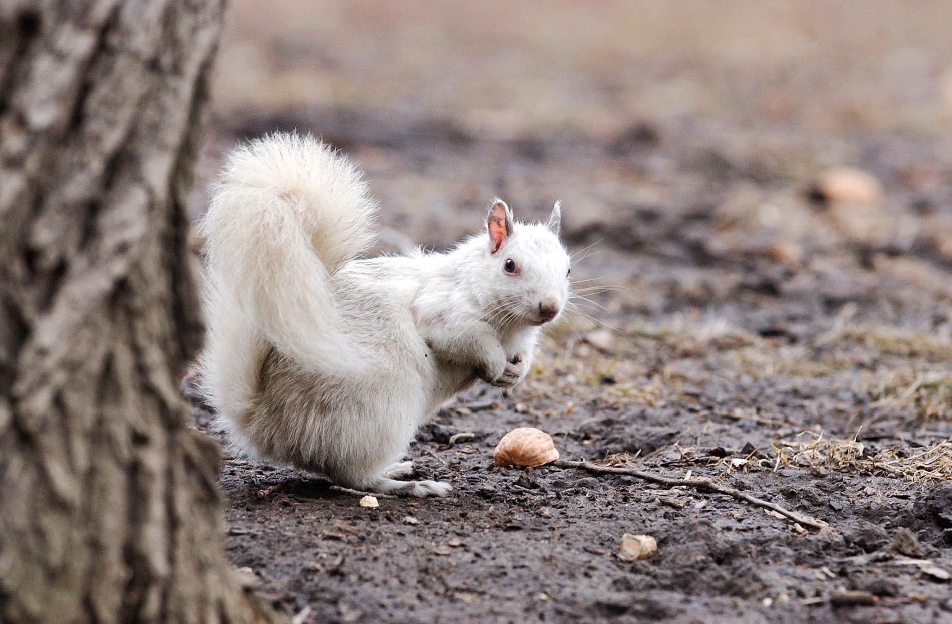 白色松鼠不一定是白化症