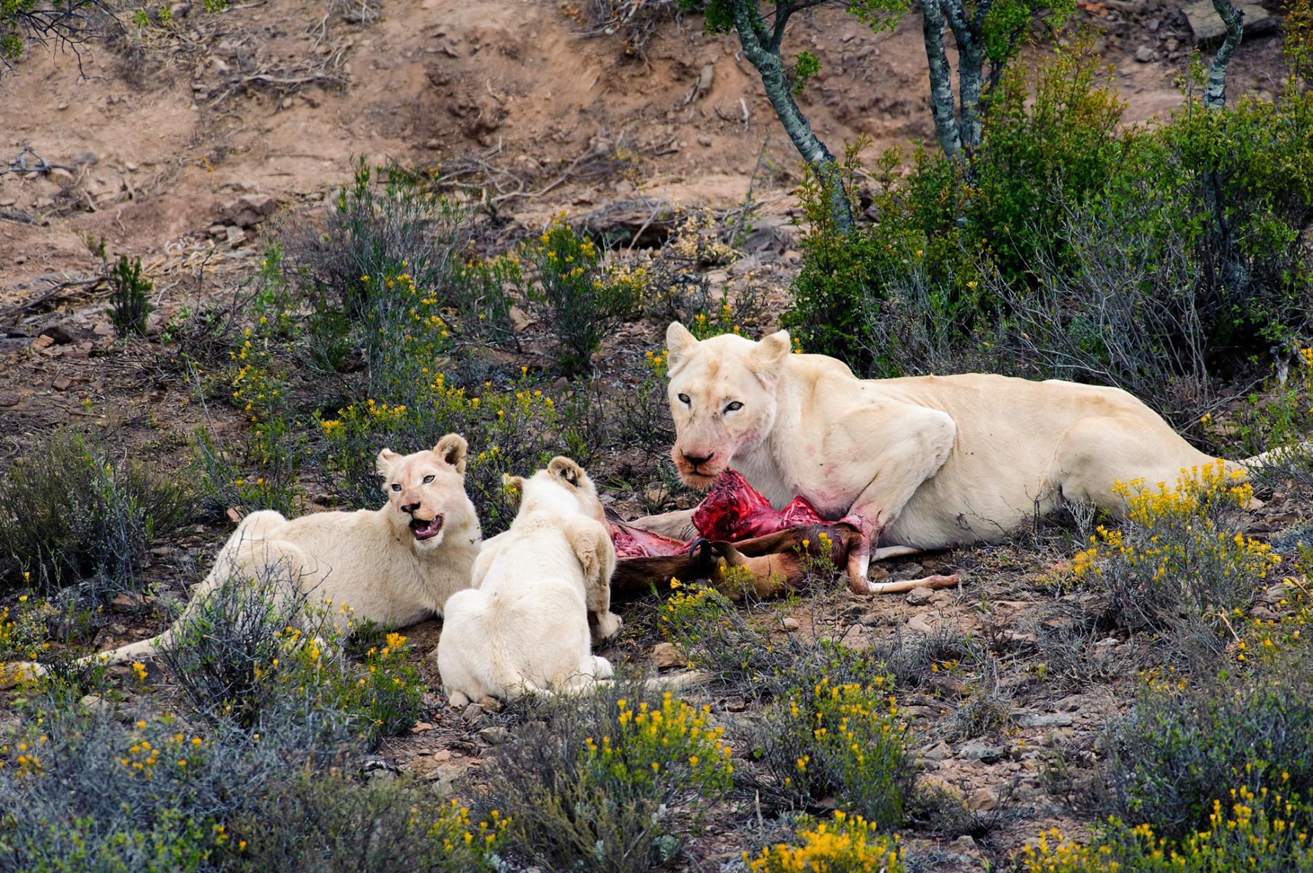 非洲認為白獅很神聖