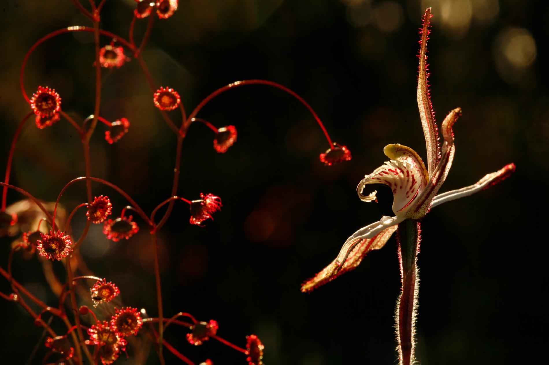 毛氈苔旁的裂緣蘭