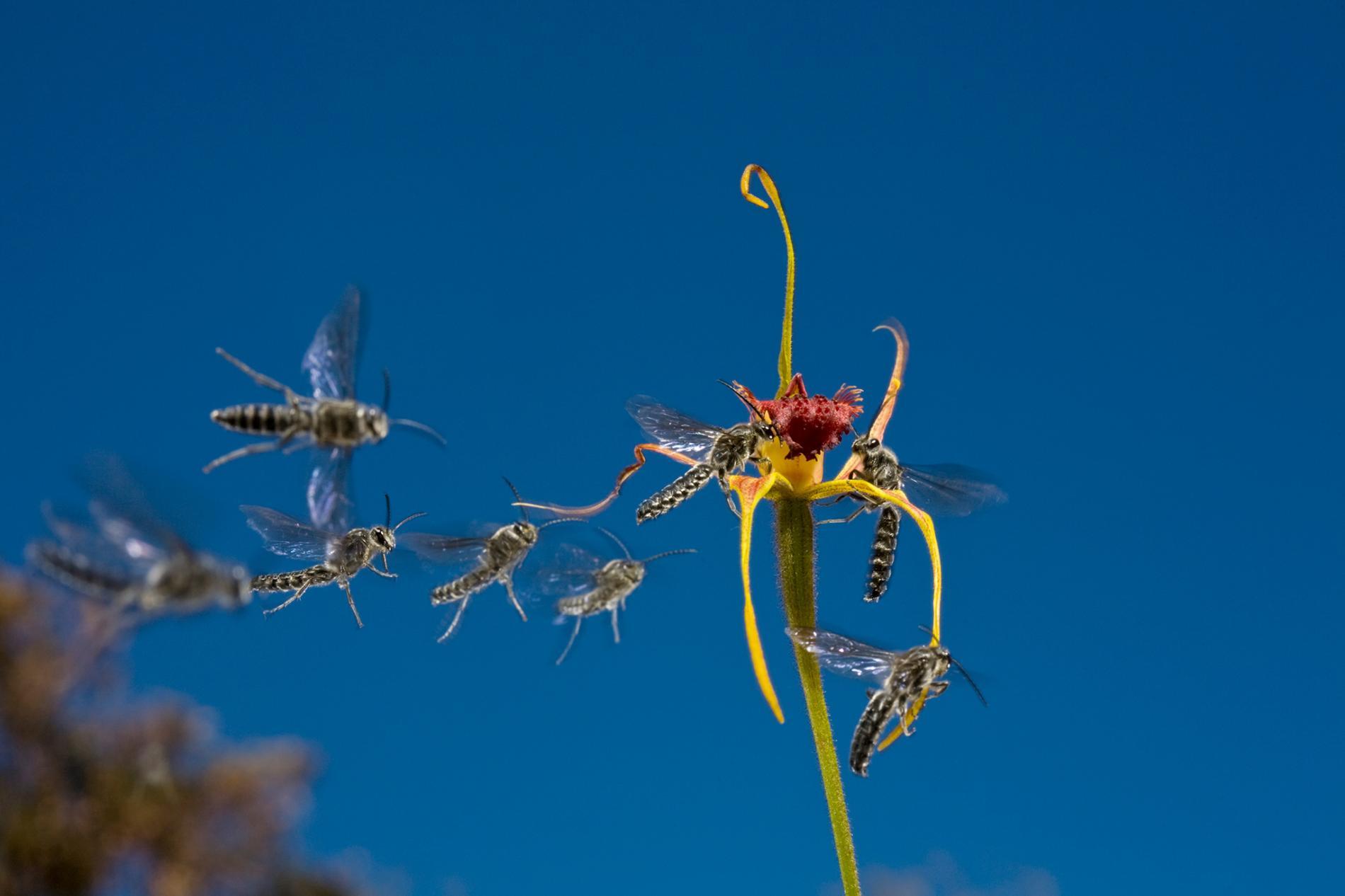 裂緣蘭變異花瓣