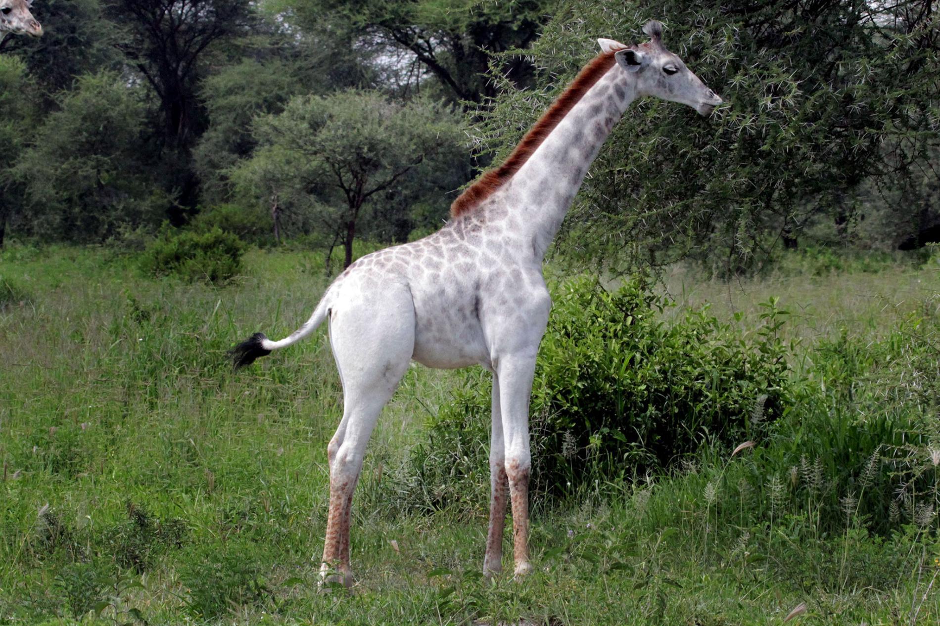 一歲的白色馬賽長頸鹿