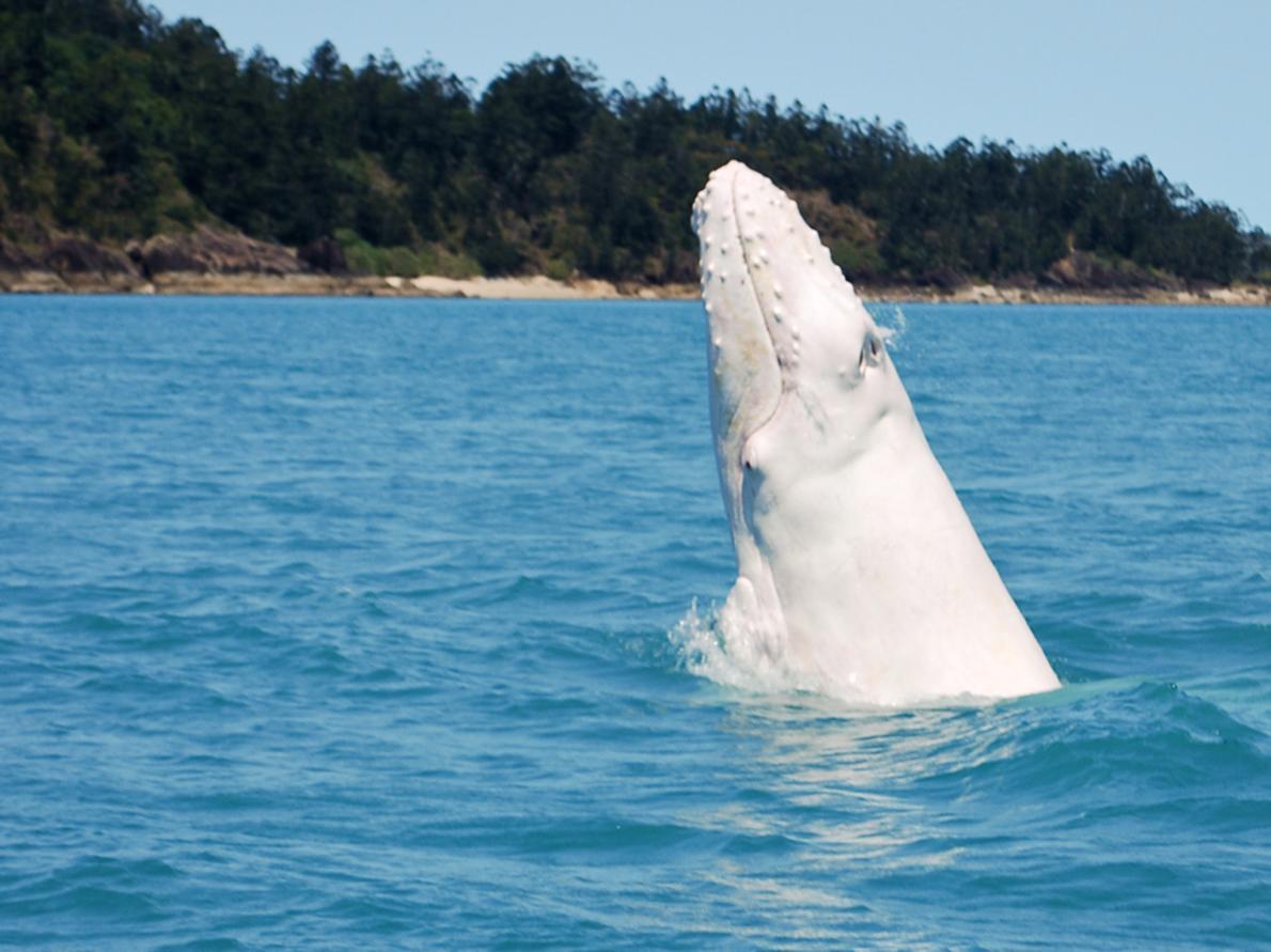 一隻白化症鯨魚