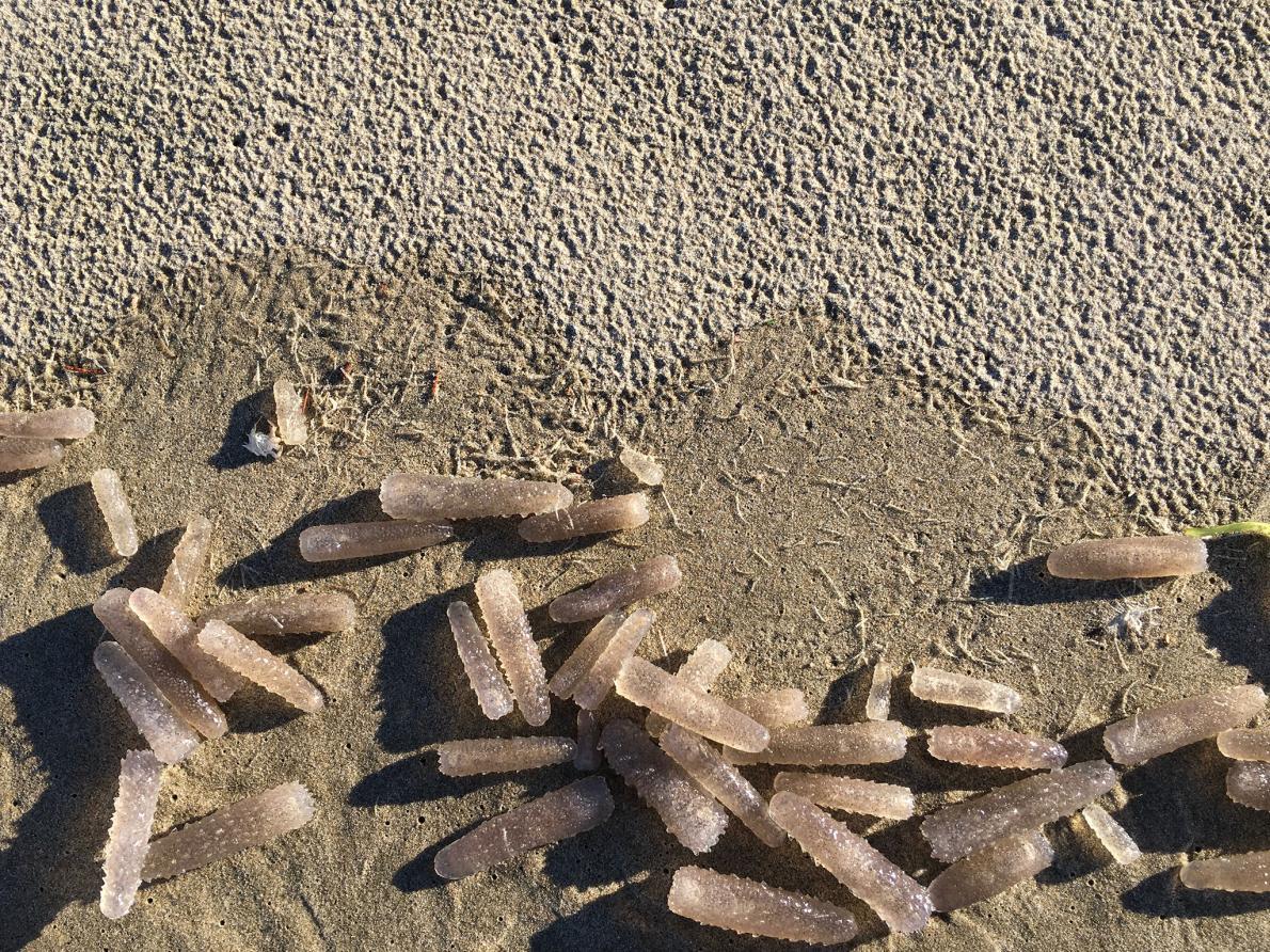 火體蟲被沖到海岸上