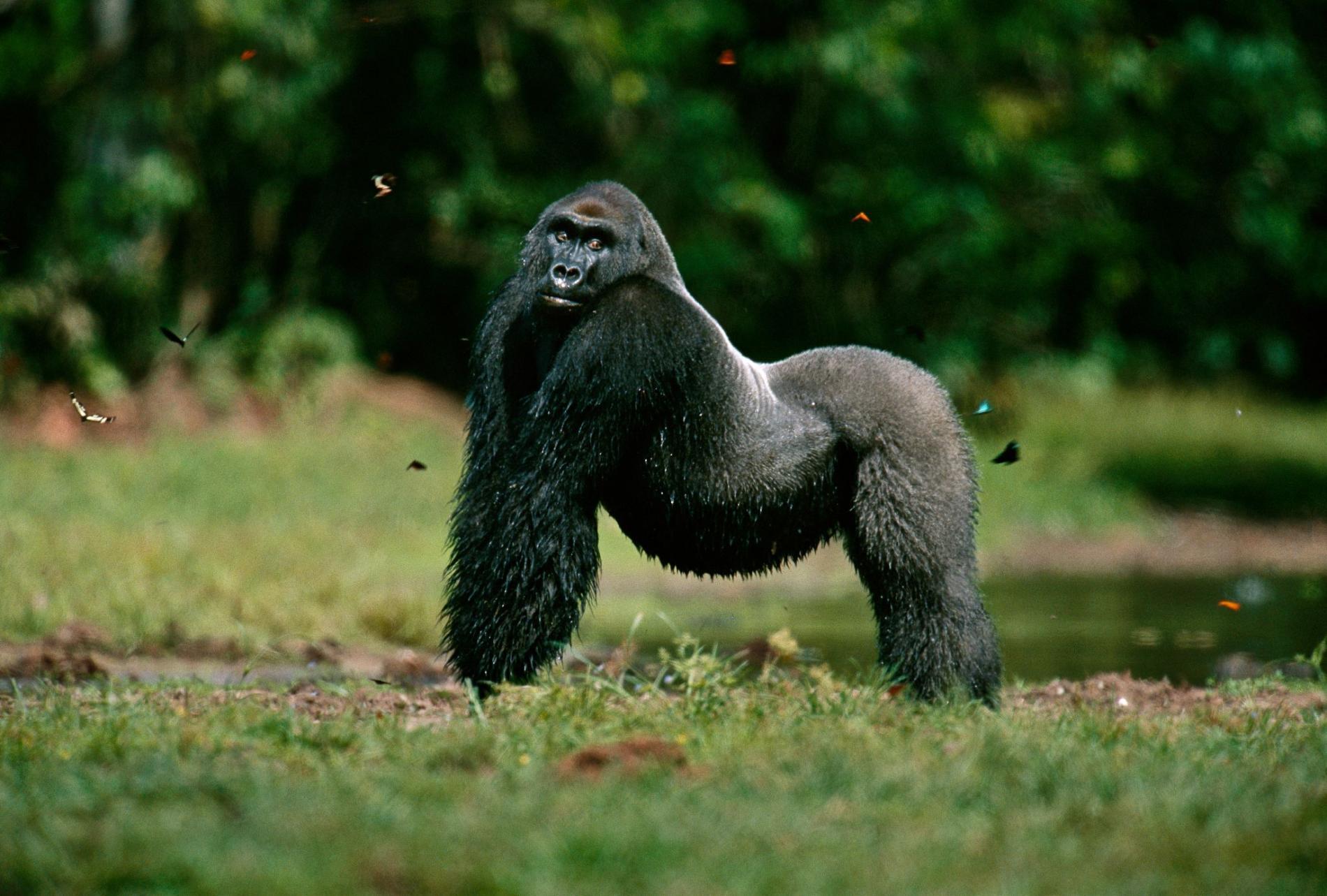 低地大猩猩