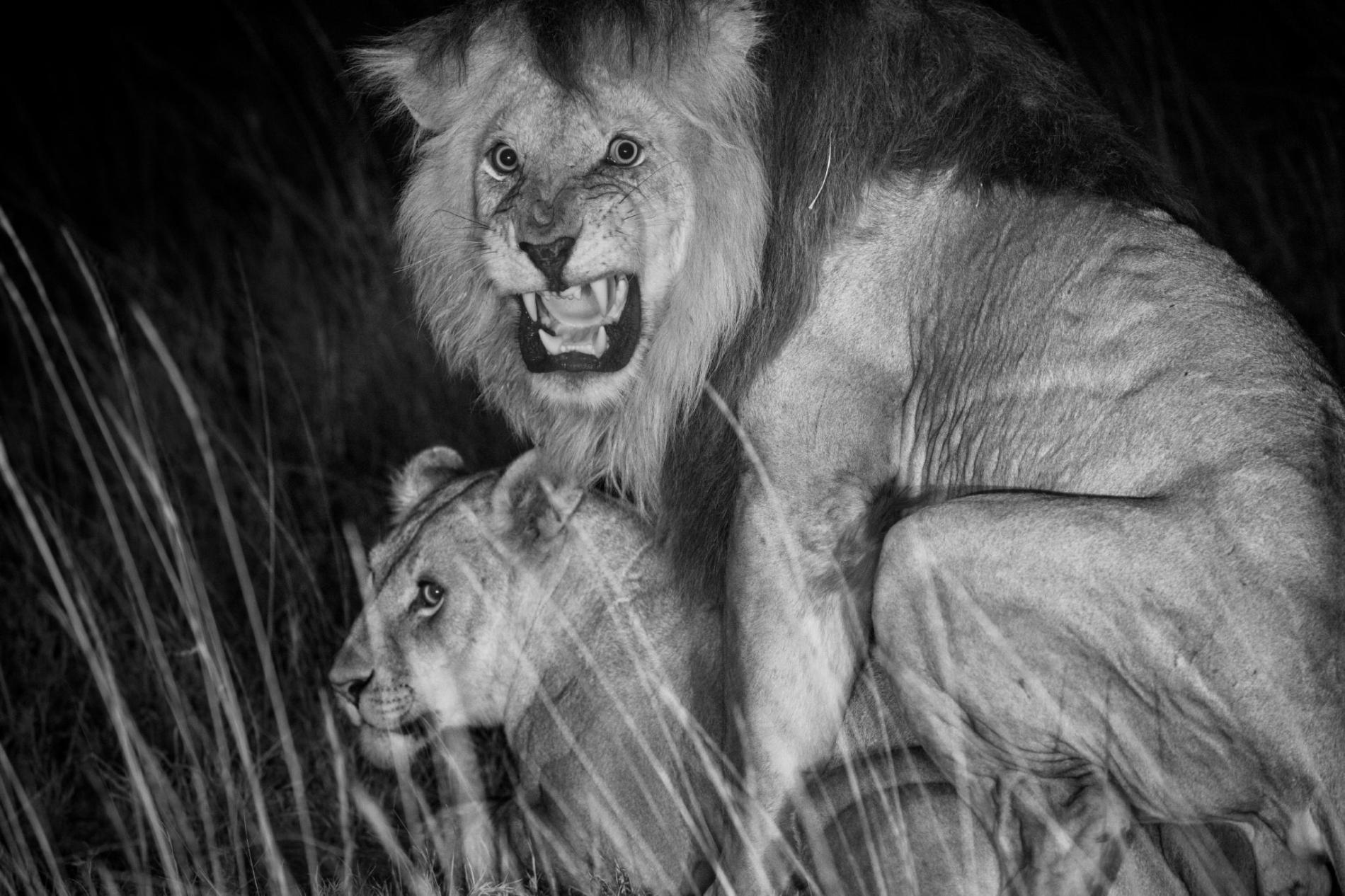 獅子與配偶