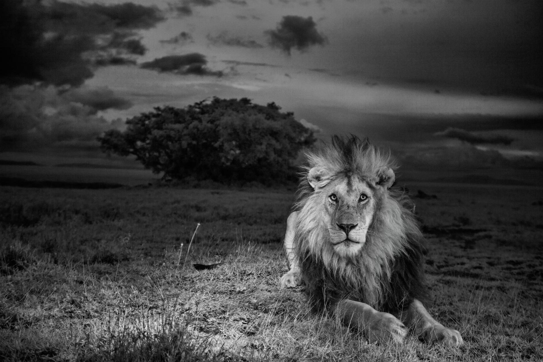 獅子C男孩