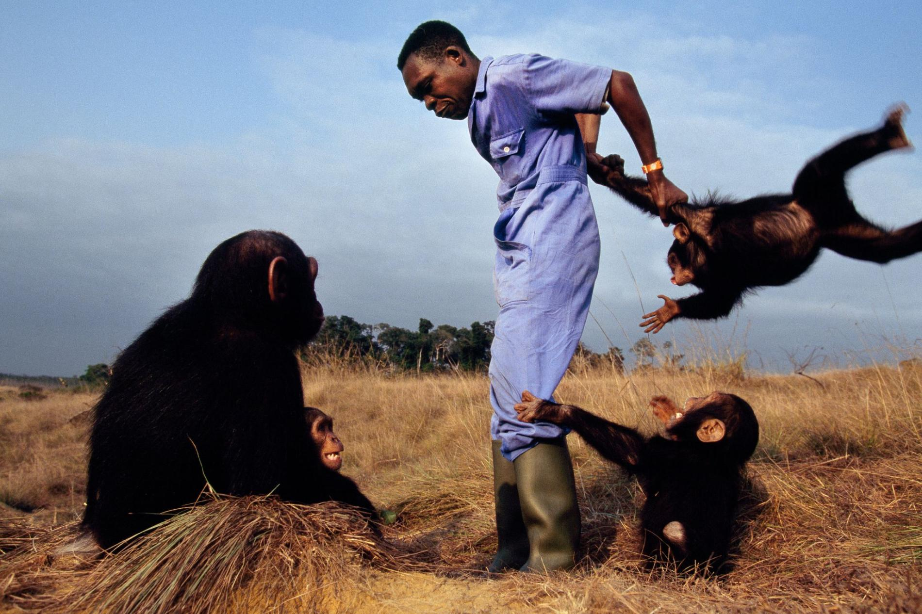 剛果黑猩猩孤兒