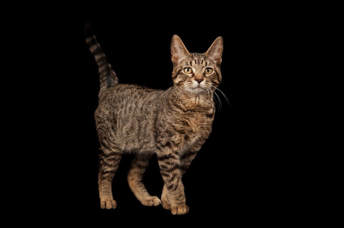 一項針對古代貓咪基因的研究指出,虎斑花紋是中世紀時期才出現的。/PHOTOGRAPH BY JOEL SARTORE, NATIONAL GEOGRAPHIC PHOTO ARK