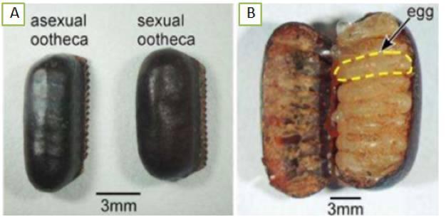 A)左邊是孤雌生殖產生的卵鞘,右邊是有性生殖產生的卵鞘;B)打開一個卵鞘裡面可以看到很多蟑螂的卵。圖片來源:參考文獻[2]