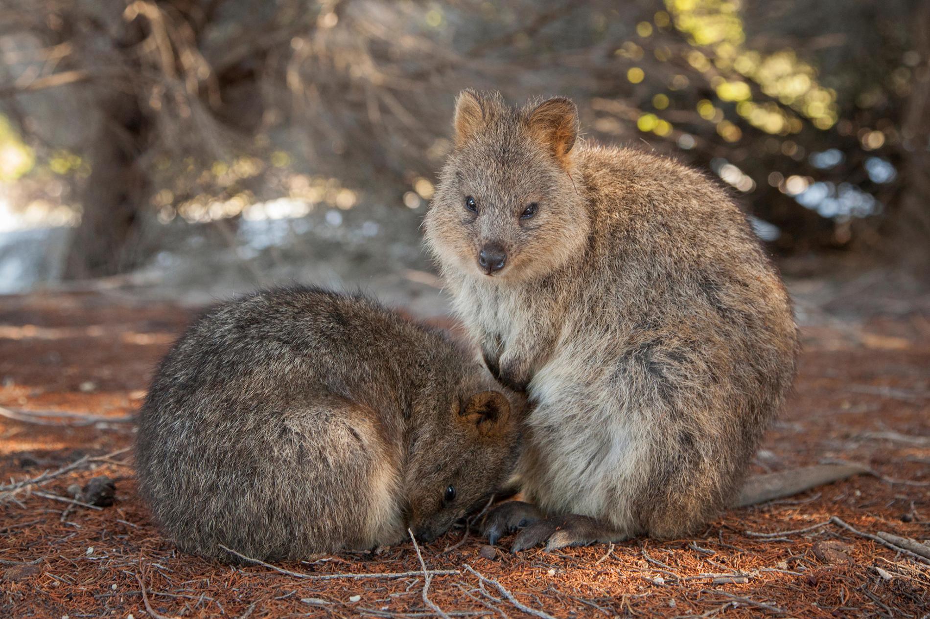 一對休息中的短尾矮袋鼠