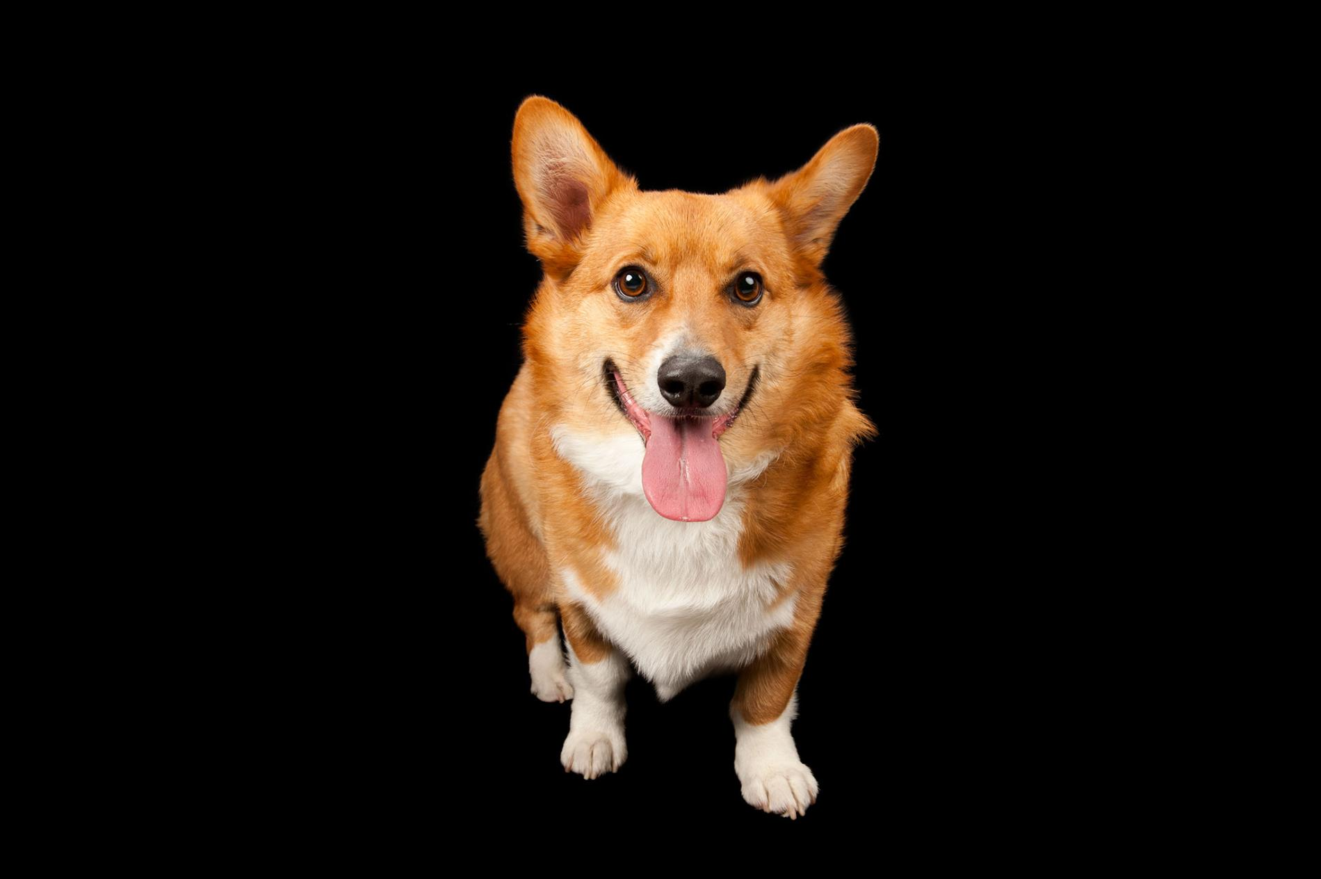 一隻威爾斯柯基犬