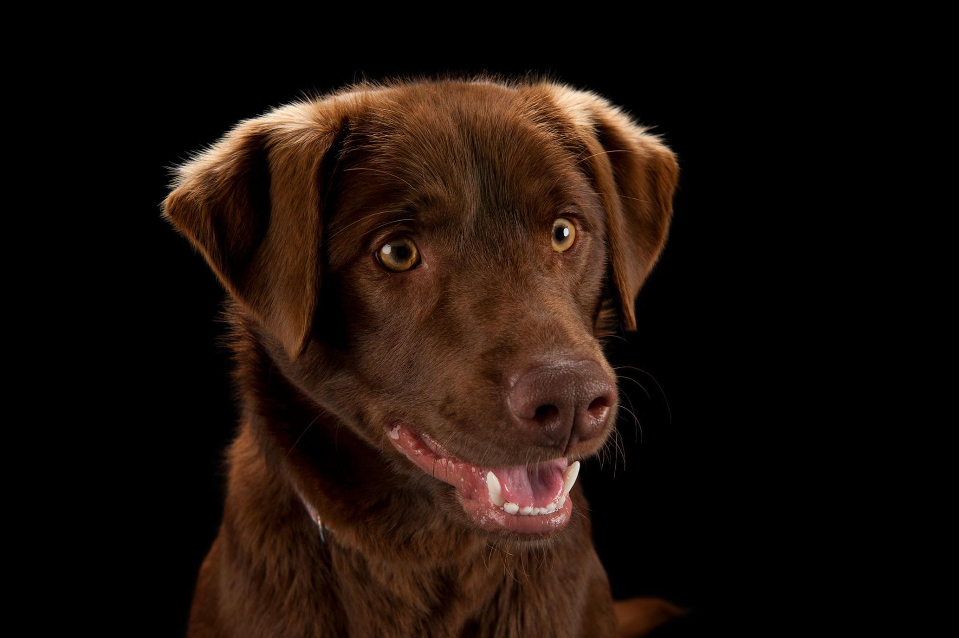 一隻巧克力色拉布拉多獵犬
