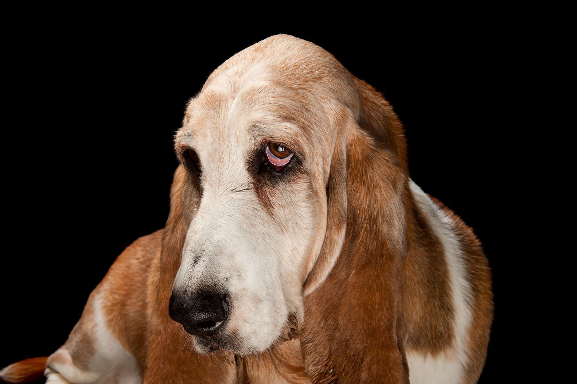 一隻巴吉度獵犬