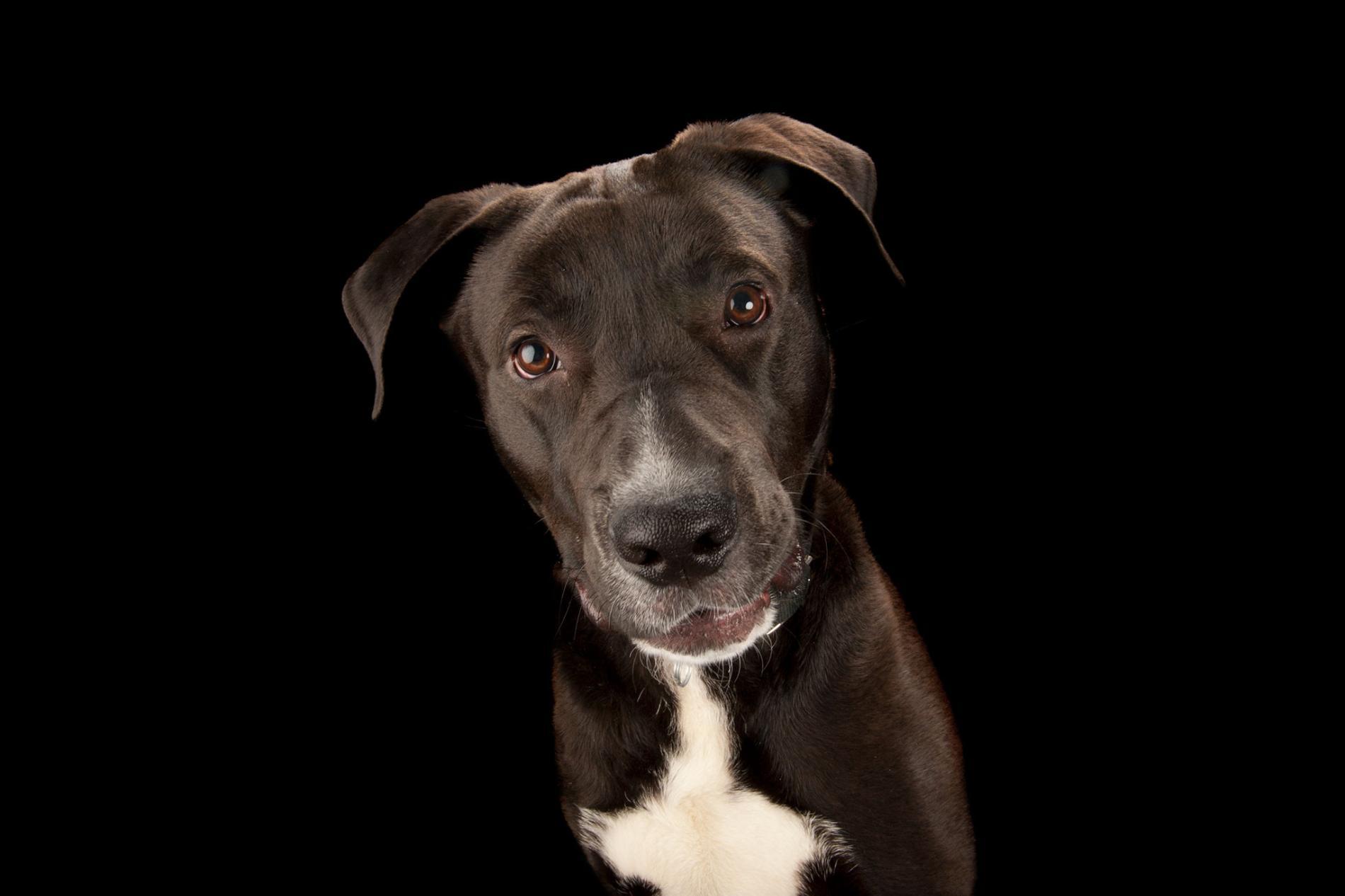 一隻拉布拉多混種犬