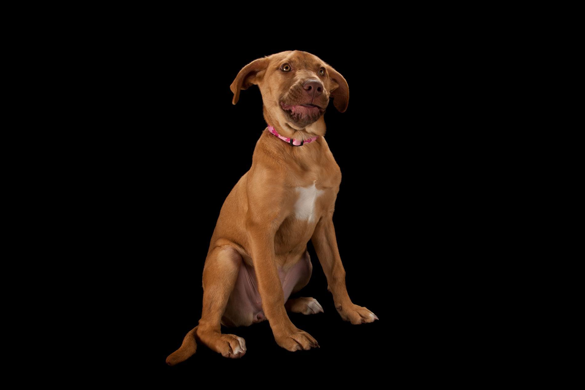一隻比特混種犬