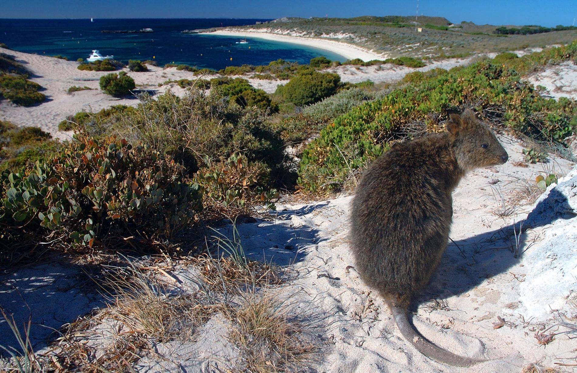 海邊的短尾矮袋鼠