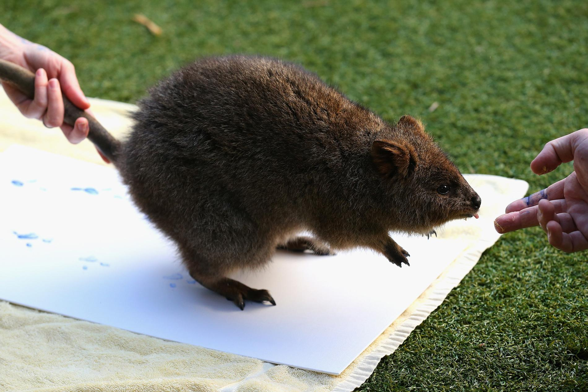 短尾矮袋鼠星光大道